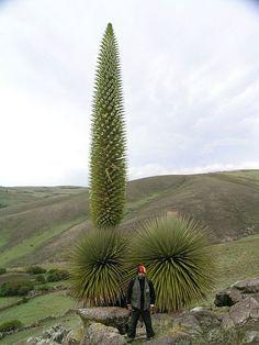 Puya Raimondi-Perú