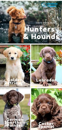 #Puppies - click here to see more. Wonder if a hunter or hound #puppy or #dog is right for your home? Click here to read why so many people love these loyal, intelligent breeds. #KeystonePuppies #GoldenRetriever #Labrador #GermanShorthairPointer #CockerSpaniel