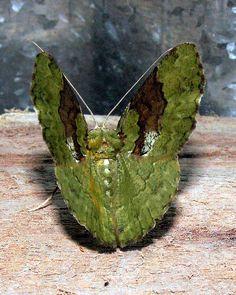 Moth in Tekai, Papua, Indonesia - photo taken by Michael Thirnbeck.