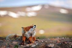 Un minero ruso obtiene estas fantásticas fotos de zorros durante sus descansos en el trabajo 10