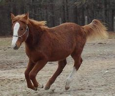 Savannah is an adoptable Tennessee Walker Horse in York, SC. Savannah was rescued from the nurse mare industry at less than 1 week old. She is over a year old and is still looking for her forever home...