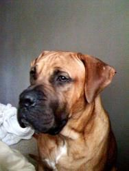 Vigo (Courtesy List) is an adoptable Presa Canario Dog in Richmond, VA. CONTACT INFO FOR THIS PET meg.bosque@gmail.com This pet is a bonded pet and needs to be adopted with his brother Waffles listed ...