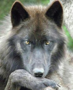 Kenai, a male gray wolf (Canis lupus) at the Oregon Zoo in Portland, OR. Wolf Spirit, My Spirit Animal, My Animal, Beautiful Creatures, Animals Beautiful, Cute Animals, Wild Animals, Baby Animals, Wolf Pictures
