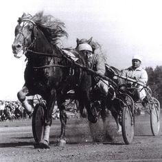 Finnhorses Harness Racing, Icelandic Horse, Mother Earth, Old Photos, Finland, Vikings, Scandinavian, Training, Horses
