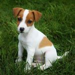 """1,422 Me gusta, 9 comentarios - Jack Russell Daily (@jackrussell_daily) en Instagram: """"Credit to: @cheoeljack @caldillus . For featureFollow + tag #jackrussell_daily . SHARE this cute…"""""""