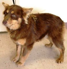 URGENT! Zipline ID# 2/22-0424 Aussie type mixed male, young adult, super sweet(770) 288-PETS. My I.D. #    please refer to this number when inquiring about me. Lost and stray animals are held at the Henry County Animal Care and Control Shelter for four (4)...