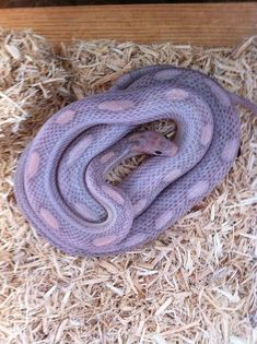sunkissed lavender corn snake - Google Search