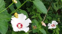 Hibiscus and Lantana