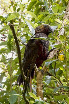 Kaka at Zealandia Bald Eagle, Wildlife, Birds, Children, Photography, Animals, Young Children, Boys, Photograph