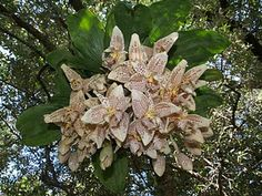 Stanhopea orchid...blooms from the bottom