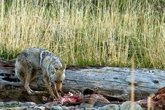 Coyote having a snack at his lunch counter Counter, Wildlife, Fox, Lunch, Animals, Animales, Animaux, Eat Lunch, Foxes