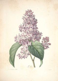 The common lilac Syringa vulgaris L. Redouté, P.J., Choix des plus belles fleurs et des plus beaux fruits, t. 109 (1833) [P.J. Redoute]