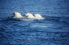 Resultados de la Búsqueda de imágenes de Google de http://www.reducing-carbon.co.uk/polarbearandcubsWL000307.jpg