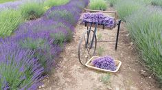 Luvin Lavender is located at  5861 Middle Ridge Road in Madison, Ohio.