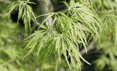 Acer Palmatum Dissectum 39 Tamukeyama 39 Tamukeyama Laceleaf Japanese Maple Deciduous Tree Sun To