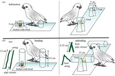 """Can hook-bending be let off the hook? Bending/unbending of pliant tools by cockatoos"" Ideas for enriching pet parrots also."