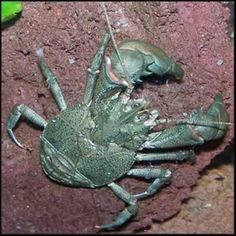 This completely freshwater crab-like species called Aegla is native to Central and South America.  It eats anything a crayfish would ear.
