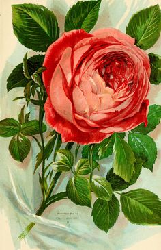 "Image from page 40 of ""Roses and rose culture .."" (1892) 