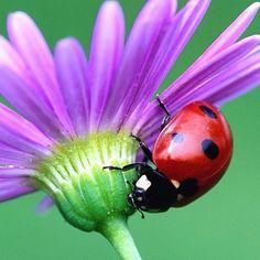 Lady bug on lavender flower