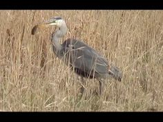 Blue Heron Eats Mole filmed stalking striking and eating his prey. Blue Heron jacht en eet een Mol...  This blue heron flew from the pond across a canal and landed on its bank near us as you can see in the video. There while filming it zeroed in real quickly on something. Then whoosh the expert in hunting this adult heron jabbed its sharp beak into the tall grass. After a second or two he came up back into view with a creature wiggling in his clutches. A cute mole. It is sad but true.  This…