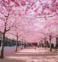 ドイツ、ボンの桜通り
