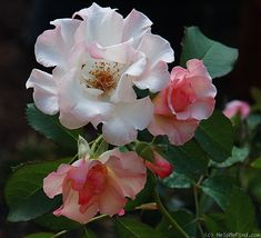 'Lady Of The Dawn' - Interplant (1984). Halfgevulde, blosjesroze bloemen (7-8cm). Appelgeur. Matig resistent. De struik geeft een wat heesterachtige indruk, waardoor ook geschikt als tussenbeplanting in vaste plantenborders.150cm x 150cm.