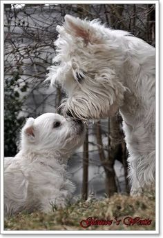 West Highland White Terrier and puppy Westie Puppies, Westies, Cute Puppies, Dogs And Puppies, Doggies, Chihuahua Dogs, Pet Dogs, Bichons, Love My Dog