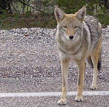 The coyote (US /kaɪˈoʊtiː/ or /ˈkaɪ.oʊt/, UK /kɔɪˈjoʊteɪ/ or /kɔɪˈjoʊt/;[2] Canis latrans), also known as the American jackal or the prairie wolf, is a species of canine found throughout North and Central America, ranging from Panama in the south, north through Mexico, the United States and Canada. It occurs as far north as Alaska and all but the northernmost portions of Canada.