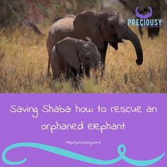 A team from Save the Elephants races to locate a baby elephant after her mother is killed near Shaba National Reserve, Kenya  https://www.theguardian.com/vulcan-partner-zone/2016/dec/06/saving-shaba-how-to-rescue-an-orphaned-elephant?CMP=fb_gu