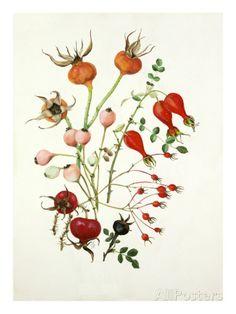 art rose hips - Google Search