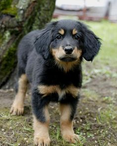 Hovawart puppy, they're like Golden Retrievers but with black and tan coloring would love to name him Koda!!