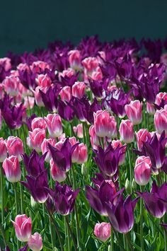"""A photograph of the the spring flowering Tulip Bulbs cultivar """"Your Imminence"""""""