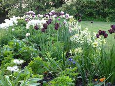 Ben Pentreath's beautiful spring garden with white and dark purple tulips