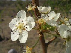flor de pera