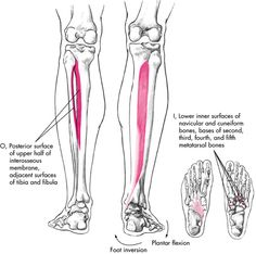 image tibialis_posterior for term side of card