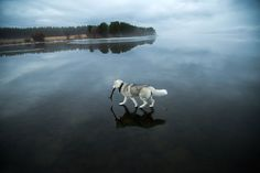 Two Majestic Huskies Walk on Water Across the Surface of a Frozen Lake - My Modern Met