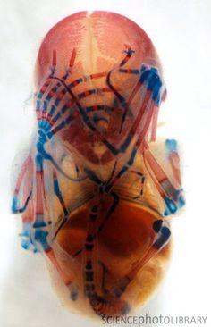 Bat embryo