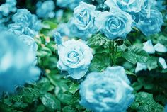 Blue roses, often portrayed in literature and art as a symbol of  love and prosperity to those who seek it, do not exist within nature,  due...