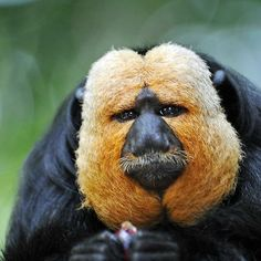 Saki Monkey - Sakis, or saki monkeys, are any of several New World monkeys of the genus They are closely related to the bearded sakis of genus Chiropotes. Primates, Mammals, Nature Animals, Animals And Pets, Cute Animals, Interesting Animals, Unusual Animals, Beautiful Creatures, Animals Beautiful