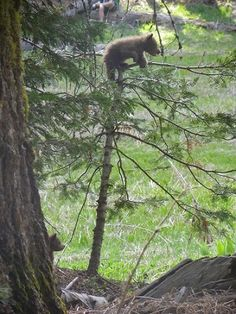 This baby bear had a ton of fun climbing this tree:) Sequoia National Park.