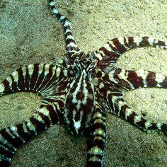 Mimic Octopus <3 Mimic Octopus, Octopus Art, Ocean Ecosystem, Underwater Images, Creatures 3, Beautiful Sea Creatures, Leyte, Cuttlefish, Sea Fish