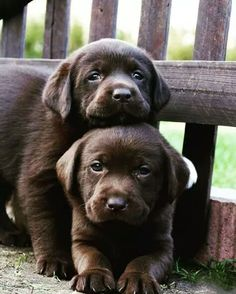 Puppies ,,, chocolate labs ... How did they get those two to hold still? Is there a tennis ball ... ?