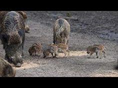 Wild pigs (mini) at Natuurpark Lelystad