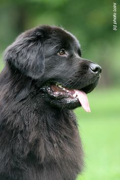 I will have a New Foundland when I get my own place! He will be my cuddle buddy on the couch
