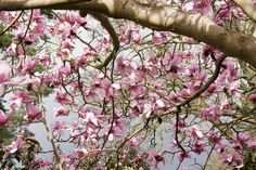 Do you have a spring in your step? No wonder as last Wednesday was the official start of spring in the UK.  The Nare in Cornwall is home to one of the 6  magnolia trees which marks the start of the season when each tree has 50 flowers blooming, and on the 10th Febraury it happened! Now is the perfect time to book a stay at the beautiful Nare in Cornwall and see the spring beauties for yourself. http://www.slh.com/hotels/the-nare-hotel/
