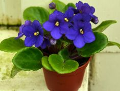 african violets pictures | African violet in Buffalo NY | Buffalo-NiagaraGardening.com