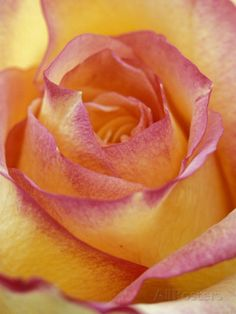 Close-up of Yellow and Orange Rose Photographic Print by Adam Jones at AllPosters.com