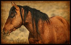 """We call him """"Honor"""".  Stallion on the South Steens."""
