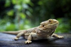 Have you bought yourself a bearded dragon? Are you clueless how to give it a name that will be adorable and amusing? Coming up with a list of names for your pet bearded dragon is certainly not that difficult. Dragon Names, Pet Dragon, Reptiles And Amphibians, Mammals, Ecuador, Bearded Dragon Diet, Pet Lizards, Easy Pets, Pet Names