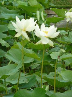 Lotus sacré (Nelumbo nucifera), Parc floral de Paris, Paris 12e (75), 29 juillet 2012, photo Alain Delavie  http://www.pariscotejardin.fr/2012/07/les-lotus-sacres-fleurissent-au-parc-floral-de-paris/